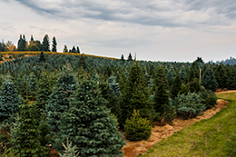 25000 trees to choose from